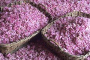 Rose fete a Grasse, visite guidée parfumerie et ville