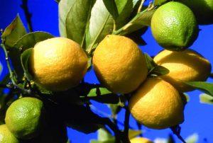 Citron Menton, visite guidée d'une citronneraie