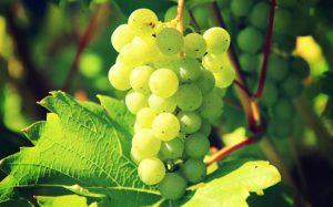 Vignoble Nice, Bellet visite guidée et dégustation